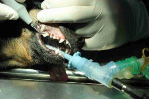 como cuidar los dientes de mi perro