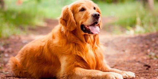 faringitis canina