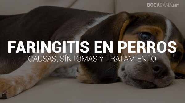 Faringitis en Perros
