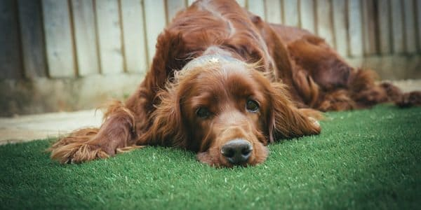 Resultado de imagen para perros faringitis