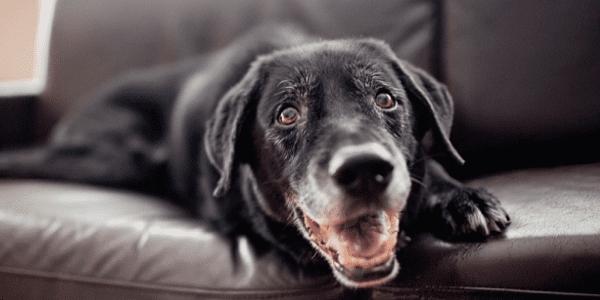 remedios caseros faringitis canina