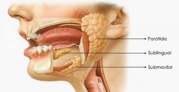 que son las glandulas salivales
